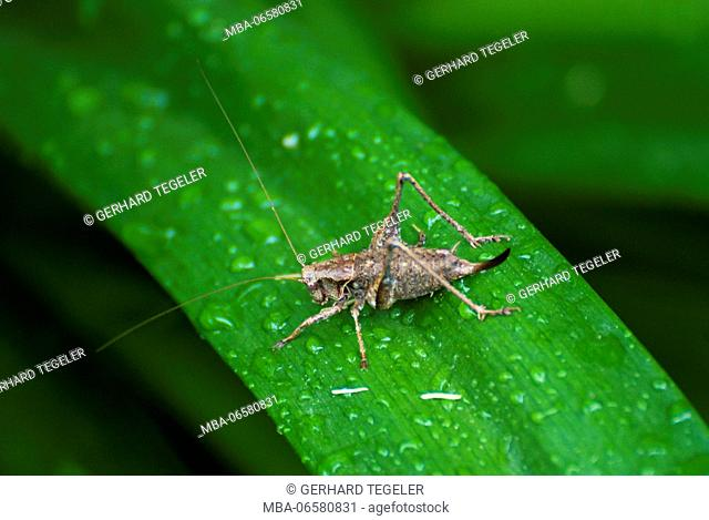 Grasshopper, dark bush-cricket, on green leaf