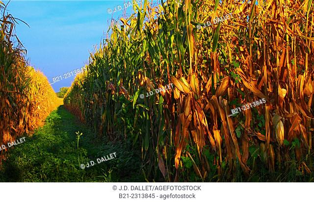 Maize field before harvest at Mussidan, Dordogne, Aquitaine, France