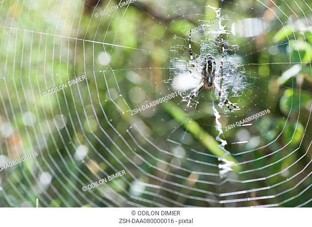 Yellow Garden Spider argiope aurantia in spiderweb waiting for prey
