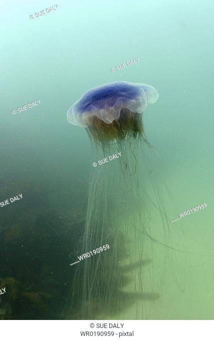 Jellyfish Cyanea lamarckii Jersey, British Isles