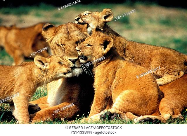 AFRICAN LION panthera leo, FEMALE WITH CUB, KENYA