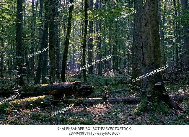 Misty sunrise morning in deciduous forest with old oak and hornbeam trees, Bialowieza Forest, Poland, Europe