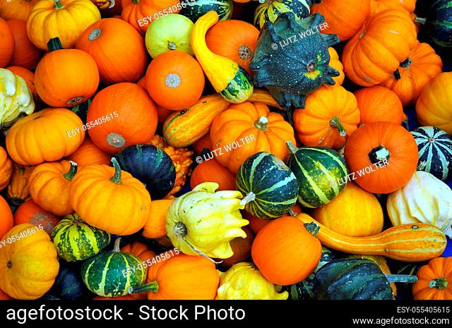 squash, thanksgiving, pumpkin harvest
