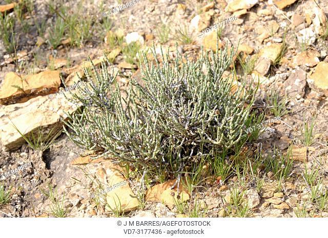 Salicornia articulada or sosa (Anabasis articulata, Anabasis hispanica or Salsola articulata) is a xerophytic shrub native to Sahara Desert