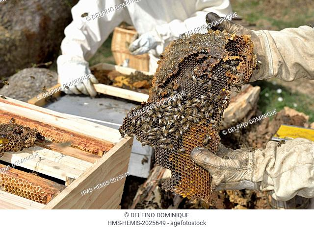 France, Haute Saone, swarm of bees forest (Apis mellifera) to their brood in the trunk of a stricken oak forest and being transferred in a hive