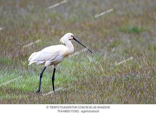 white spoonbill