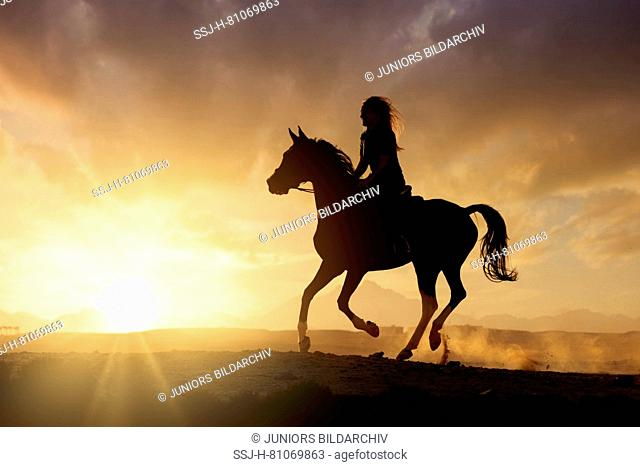 Domestic horse. Rider on a mare galopping in the desert, silhouetted against the setting sun. Egypt
