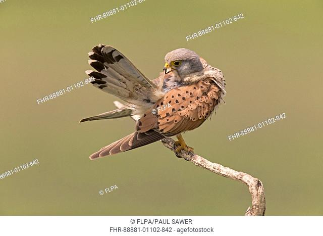 Common Kestrel (Falco tinnunculus) adult male, perched on twig, preening, Hortobagy N.P. Hungary, May