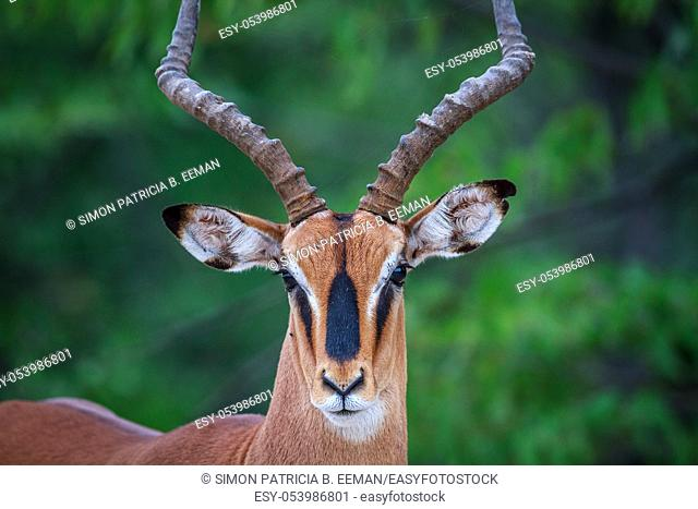 Male Black-faced impala starring at the camera in the Etosha National Park, Namibia