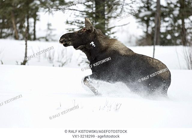 Moose / Elch ( Alces alces ) in winter, young bull, shed antlers, running, fleeing through deep snow, Yellowstone National Park, Wyoming, USA.