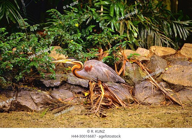 Purple Heron, Ardea purpurea, Ardeidae, Heron, bird, animal, Singapore