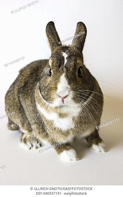 A rabbit, a pygmy rabbit, an agouti Netherland Dwarf isolated against white background