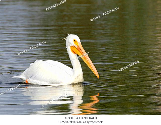 One white pelican floating on a lake profile view, close up. The American White Pelican is one of the longest bird native to North America