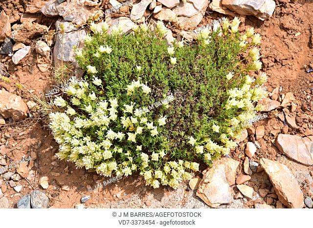 Tomillo macho (Thymus membranaceus) is a subshrub endemic to south eastern Spain. This photo was taken in Sierra Nevada National Park, Granada province
