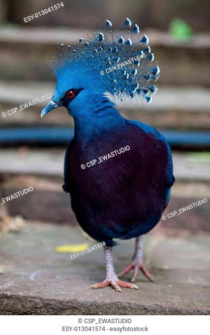Victoria crowned pigeon. Exotic Bird Goura Victoria