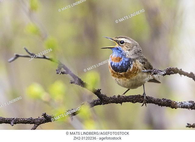 Bluethroat, Luscinia svecia, sitting in a birch tree in spring time, singing with open beak, Gällivare county, Swedish Lapland, Sweden