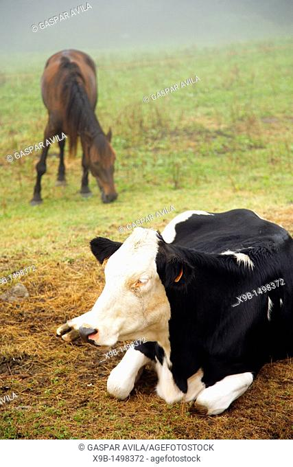 Holstein cow and a horse in a pasture at the Azores islands, Portugal