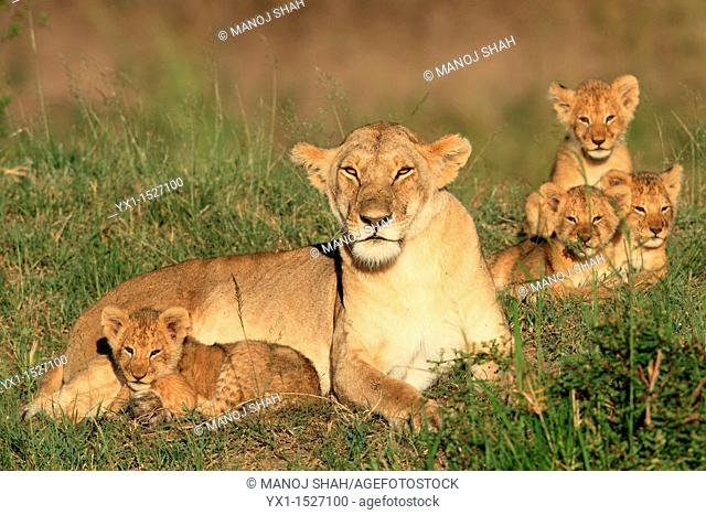 Lioness and cubs, Masai Mara Natonal Reserve, Kenya