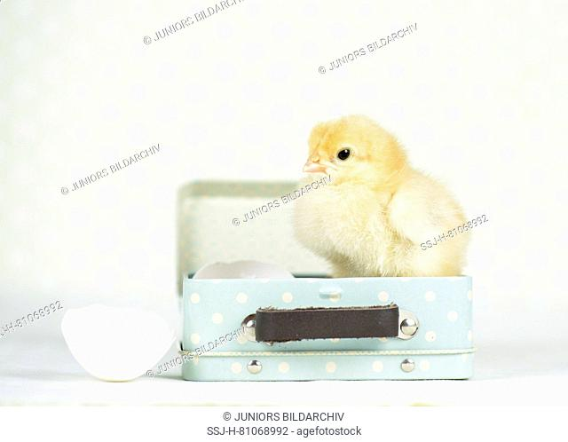 Domestic chicken, Bresse Gauloise. Chick (1 day old) standing in a little suitcase next to an egshell. Studio picture. Germany