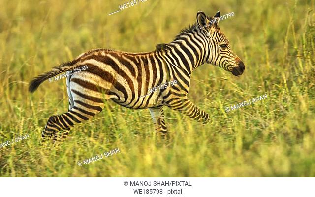 Zebra foal running, Masai Mara National Reserve, Kenya