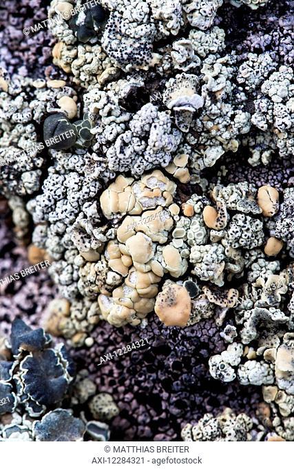 Lichen on rock at Almirante Brown Antarctic Base, Antarctic Peninsula; Antarctica