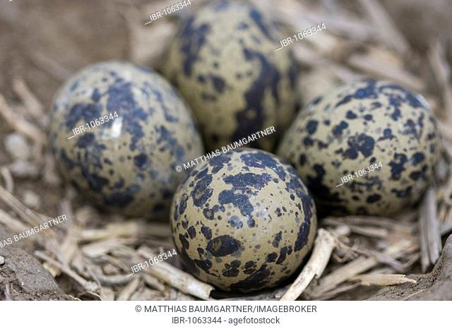 Northern Lapwing (Vanellus vanellus) nest in a plough furrow