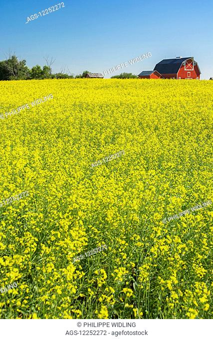Canola field in full bloom with red farm buildings in the distance; Alberta, Canada