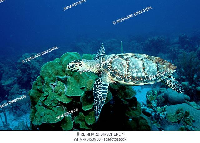 Hawksbill Turle and Coral Reef, Eretmochelys imbricata, Caribbean Sea Netherlands antilles, Curacao