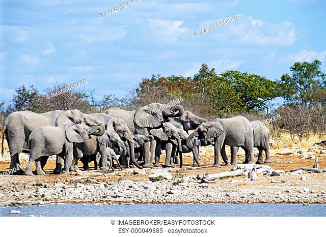 Herd of Elephants (Loxodonta africana) at Kalkheuwel waterhole, Etosha National Park. Namibia