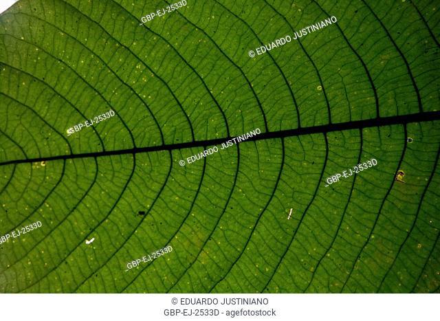 Leaf, Rib, Boa Nova, Bahia, Brazil