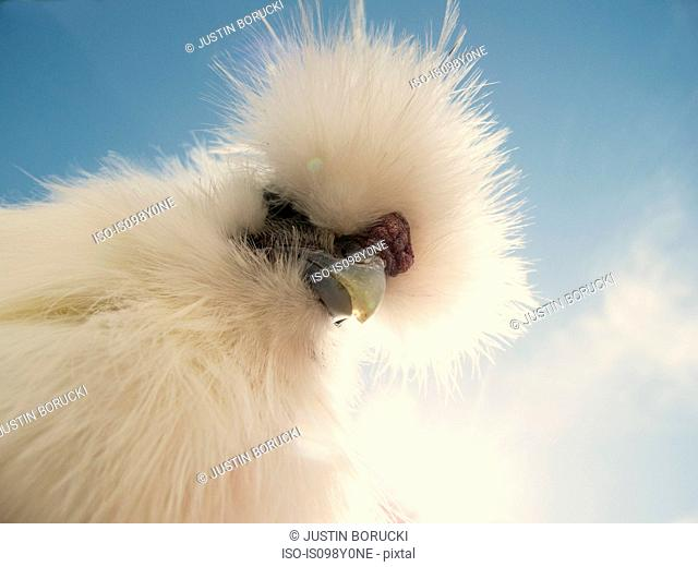 Portrait of a Silkie rooster