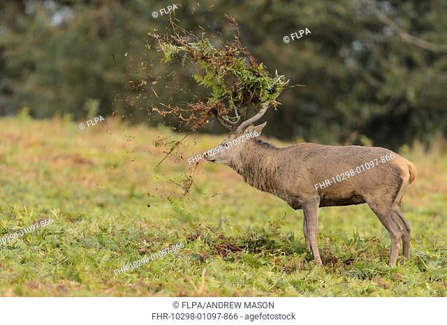 Red Deer (Cervus elaphus) mature stag, thrashing bracken with antlers, displaying during rutting season, Bradgate Park, Leicestershire, England, October