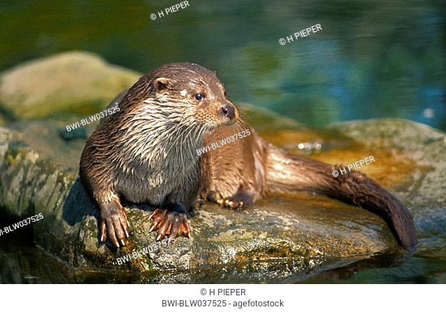 European river otter, European Otter, Eurasian Otter Lutra lutra, single animal, lying on a stone