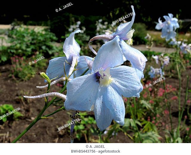 candle larkspur (Delphinium elatum 'Rosenquarz', Delphinium elatum Rosenquarz, Delphinium elatum-Hybride), flowers of cultivar Rosenquarz