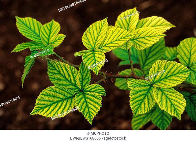 shrubby blackberry Rubus fruticosus, autumn leaves of the Blackberry, Germany, North Rhine-Westphalia