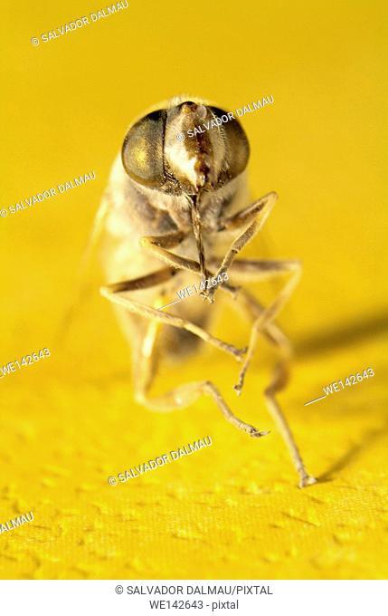 photography studio,creative bee running through a field of honey,location girona,catalonia,spain,europe,
