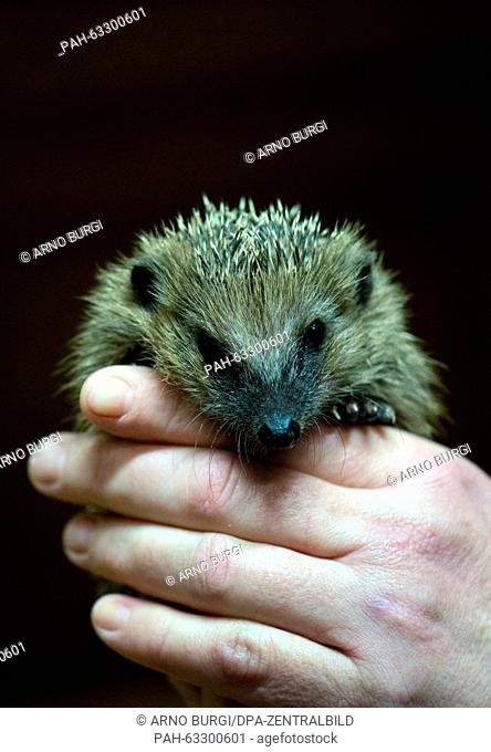 Kerstin Vollrath monitors the state of health, a young hedgehog in the rescue centre 'Igelnest' in Doebra, Germany, 3 November 2015