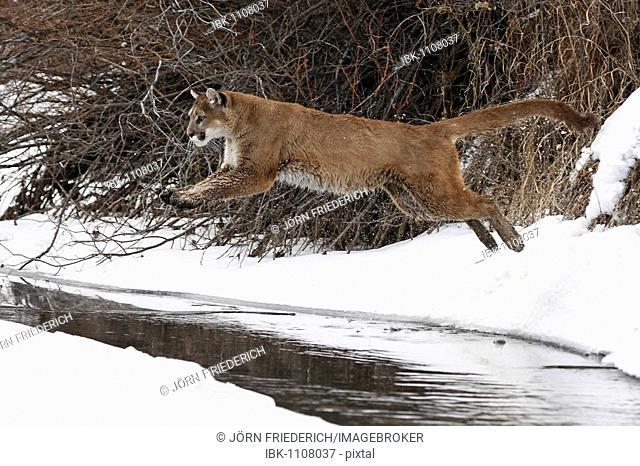 Cougar (Felis concolor), jumping over a creek, Montana, USA