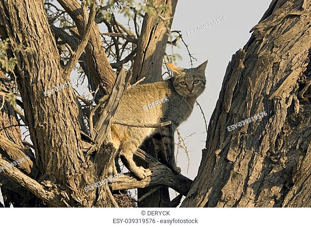 A seldom seen African Grey Wild Cat climbs into a tree in the Kgalagadi National Park, South Africa