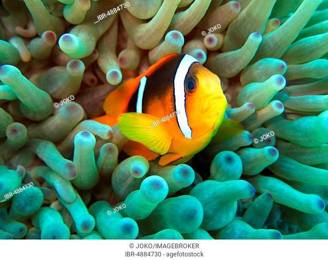 Sea anemone (Actiniaria), Red Sea clownfish (Amphiprion bicinctus), Red Sea, Egypt