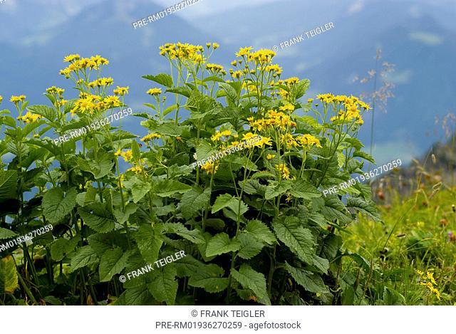 Alpine Ragwort, Senecio alpinus / Alpen-Greiskraut, Senecio alpinus