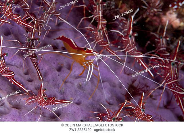 Hump-back Cleaner Shrimp (Lysmata amboinensis, Hippolytidae family) surrounded by Dancing Shrimps (Rhynchocinetes durbanensis