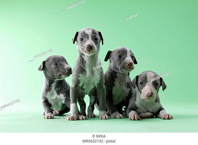 Four Italian Greyhound Puppies