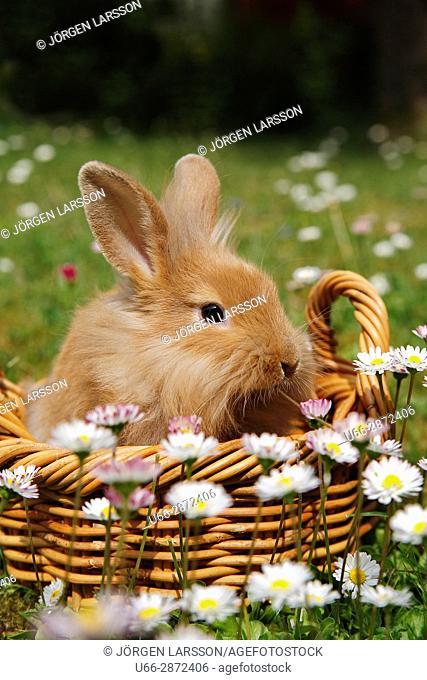 Rabbit (Leporidae) in wicker basket among flowers, Sweden
