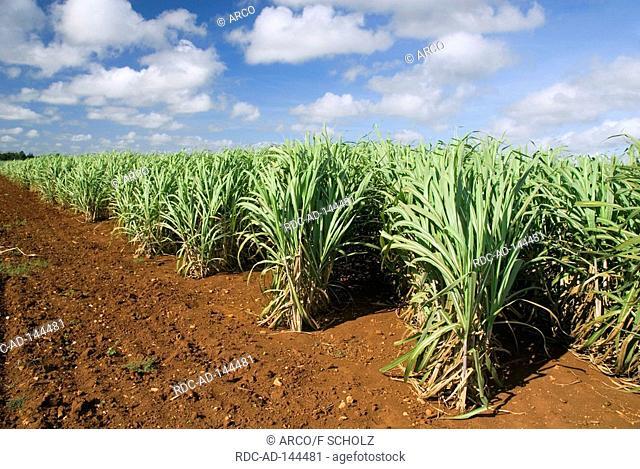 Sugarcane field Cuba Saccharum officinarum