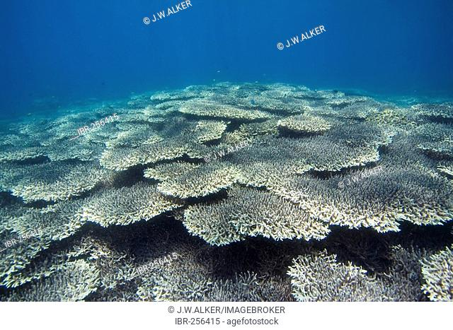 Coral reef covered with stony corals Acropora clathrata, Philippines, Pacific Ocean