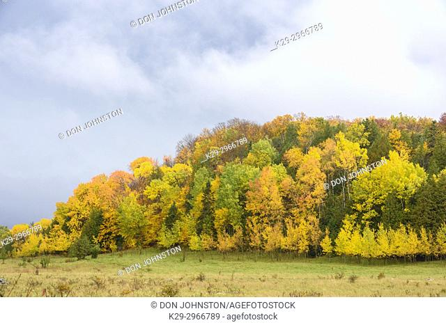 Autumn aspens on a hillside with cedar, Townline Road, Manitoulin Island, Ontario, Canada
