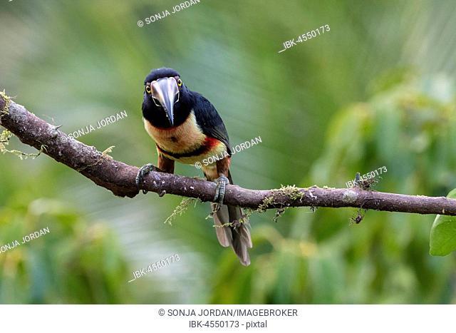 Collared aracari (Pteroglossus torquatus) sitting on branch, Boca Tapada, province of Alajuela, Costa Rica, Central America
