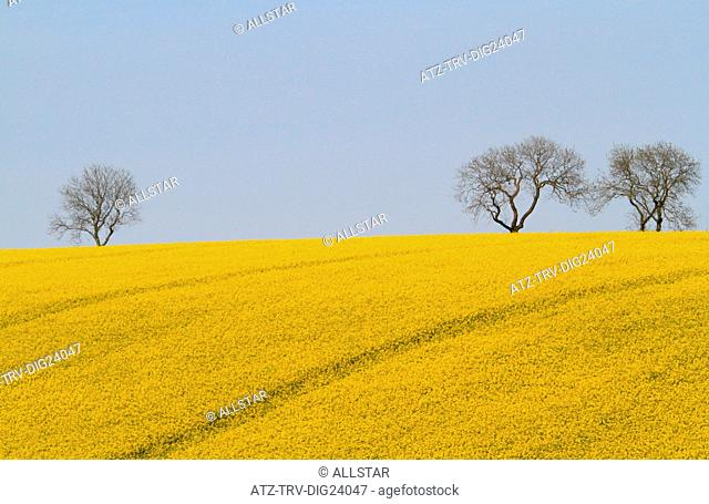 YELLOW RAPESEED FIELD & TREES; EAST AYTON, SCARBOROUGH, NORTH YORKSHIRE; 19/05/2014