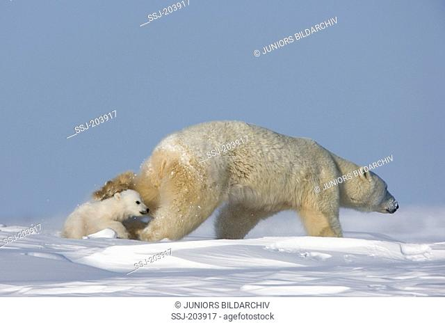 Polar Bear (Ursus maritimus, Thalarctos maritimus). Mother with twin cubs running in tundra. Wapusk National Park, Canada